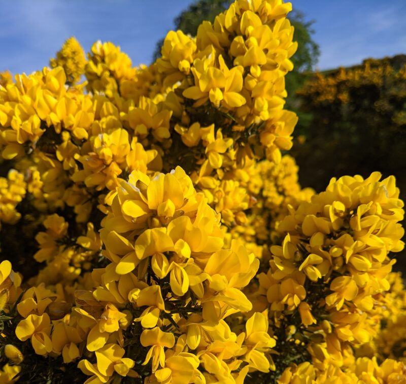 Yellow flowering gorse, Scotland